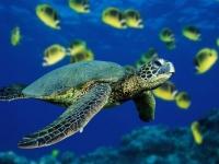 green-sea-turtle_0.jpg