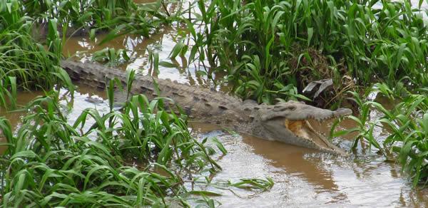Crocodile north of Jaco Costa Rica