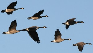 Geese metaphore for seaonal residents in Costa Rica