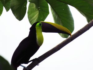 Toucan in guarumo. Uvita Costa Rica