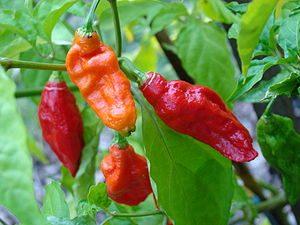 Ghost Peppers / Naga Bhut Jolokia